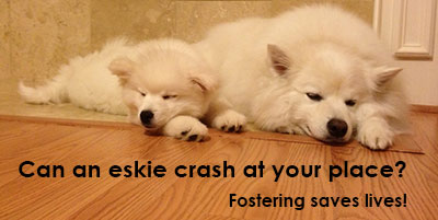 foster an eskie - can we crash at your place?